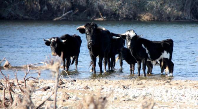 Delta del Ebro la generalitat abandona a su suerte a estos toros