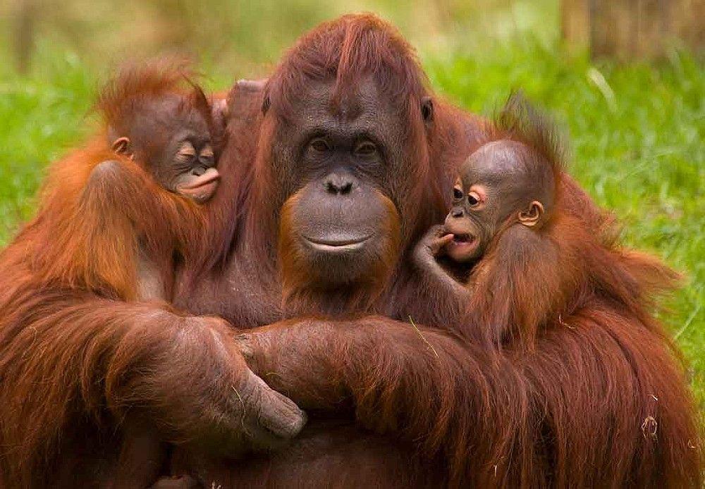 El orangutan en peligro de extinción