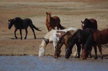 Mustangs Having A Drink
