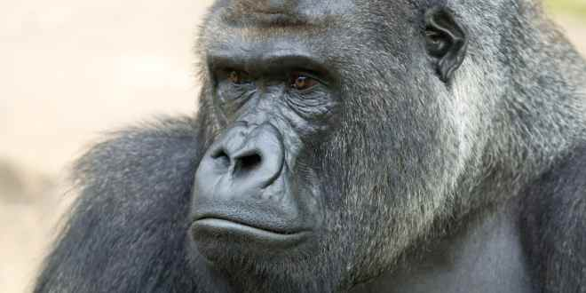 silverblack gorilla was killed in zoo