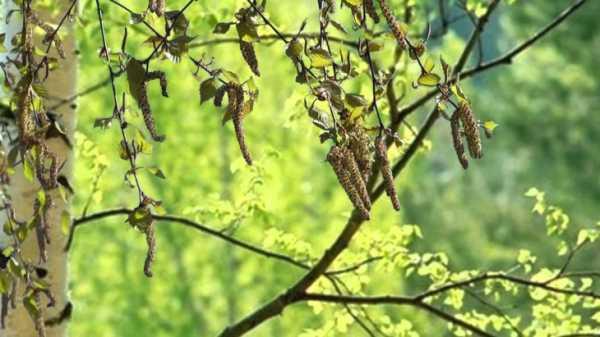 Фото березовые рощи – берёзовая роща Фотографии, картинки ...