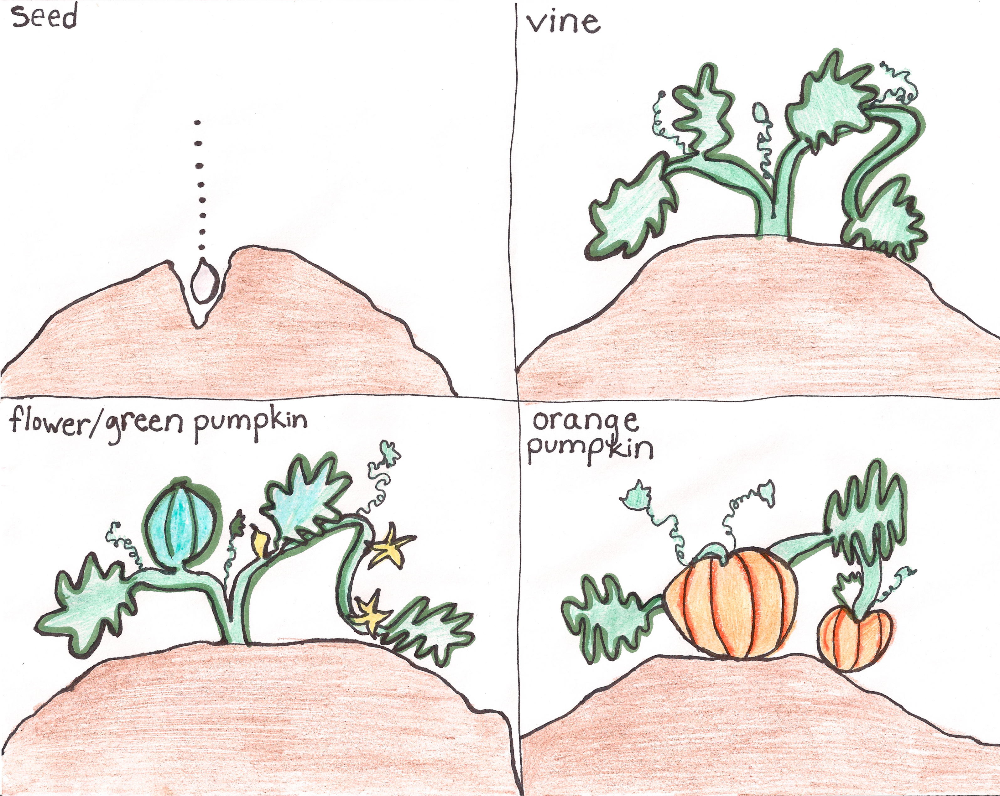 Pumpkin Patch Comparison And The Life Cycle Of A Pumpkin