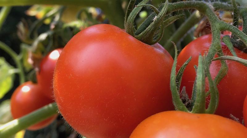 トマトの育て方 わき芽は取らないで結べば良いことを知る
