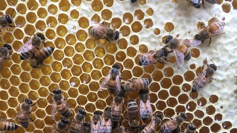 人にハチミツを奪われるミツバチはかわいそうなのか?