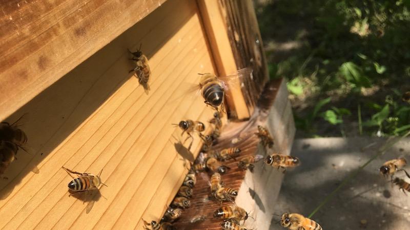 ミツバチは針を使うと死ぬ・・・ とは限らない
