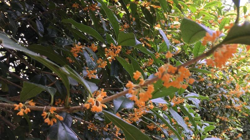 オレンジの小さな花 キンモクセイとミツバチ