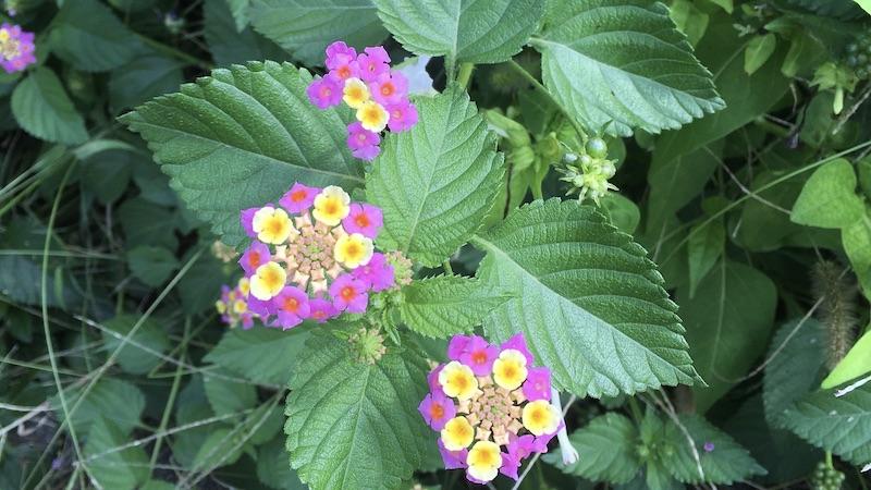 ピンクと黄色の小さい花 ランタナとミツバチ