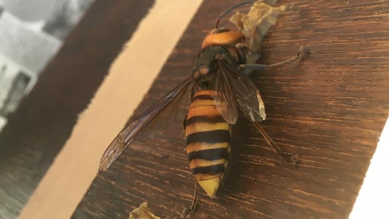 オオスズメバチのオスとメスを見分ける方法