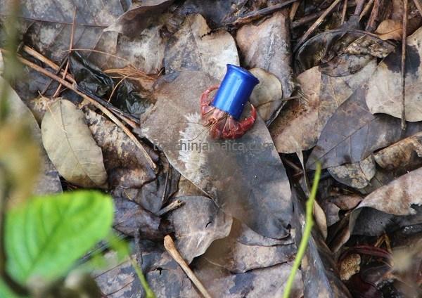 Einsiedlerkrebs mit Plastikgehäuse