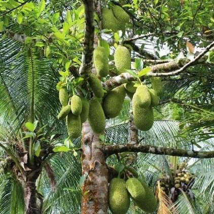 Jackfruit, auch Stinkfrucht genannt.