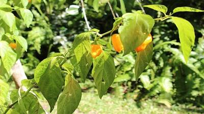Scharfe jamaikanische Chilischoten.
