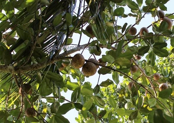 Obst Jamaika