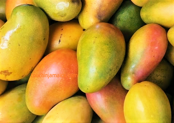 Mangos gibt es auf Jamaika in um die 70 Sorten. Sie haben Saison von Juni bis August.