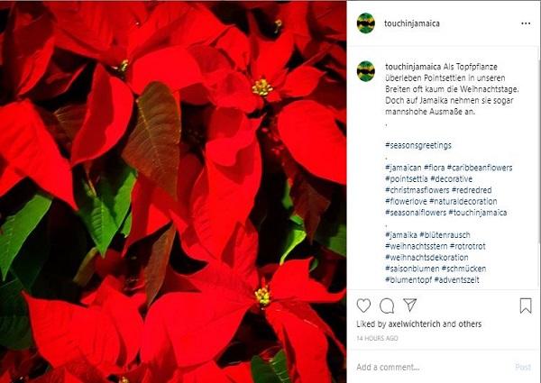 Weihnachtssterne in Jamaika
