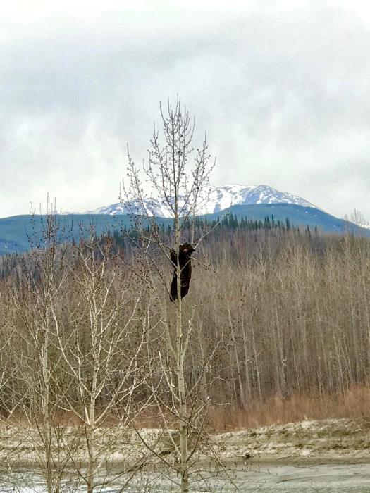 Kanada-Bär-sitzt-Baum