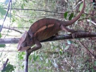 cameleon-madagascar