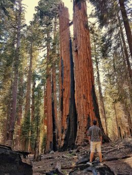 sequoias en californie