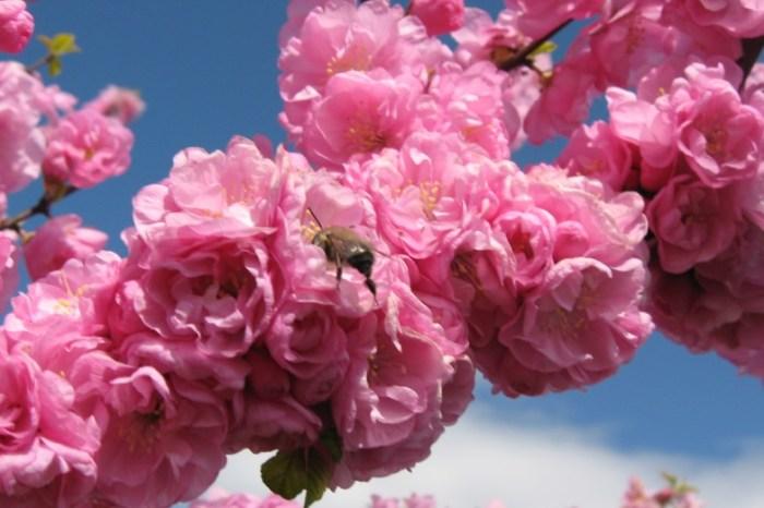 Цвітіння сакури у Ужгороді (сакура-фест 2019) та історичні пам'ятки Ужгорода
