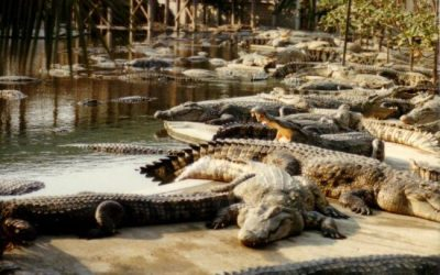 حديقة التماسيح في لنكاوي Crocodile Farm