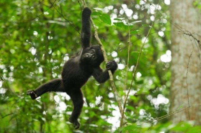 Gorilla-Swinging-in-Rwanda-700x465