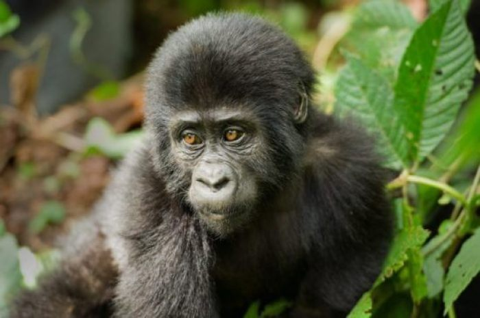 Gorilla-Trek-in-Rwanda-700x465