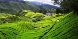مزارع الشاي في مرتفعات كاميرون Tea Farm cameron highland