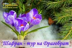 Карпати, Драгобрат, Крокуси, Шафран