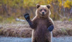 4433555-r3l8t8d-650-funny-bears-doing-human-things-1