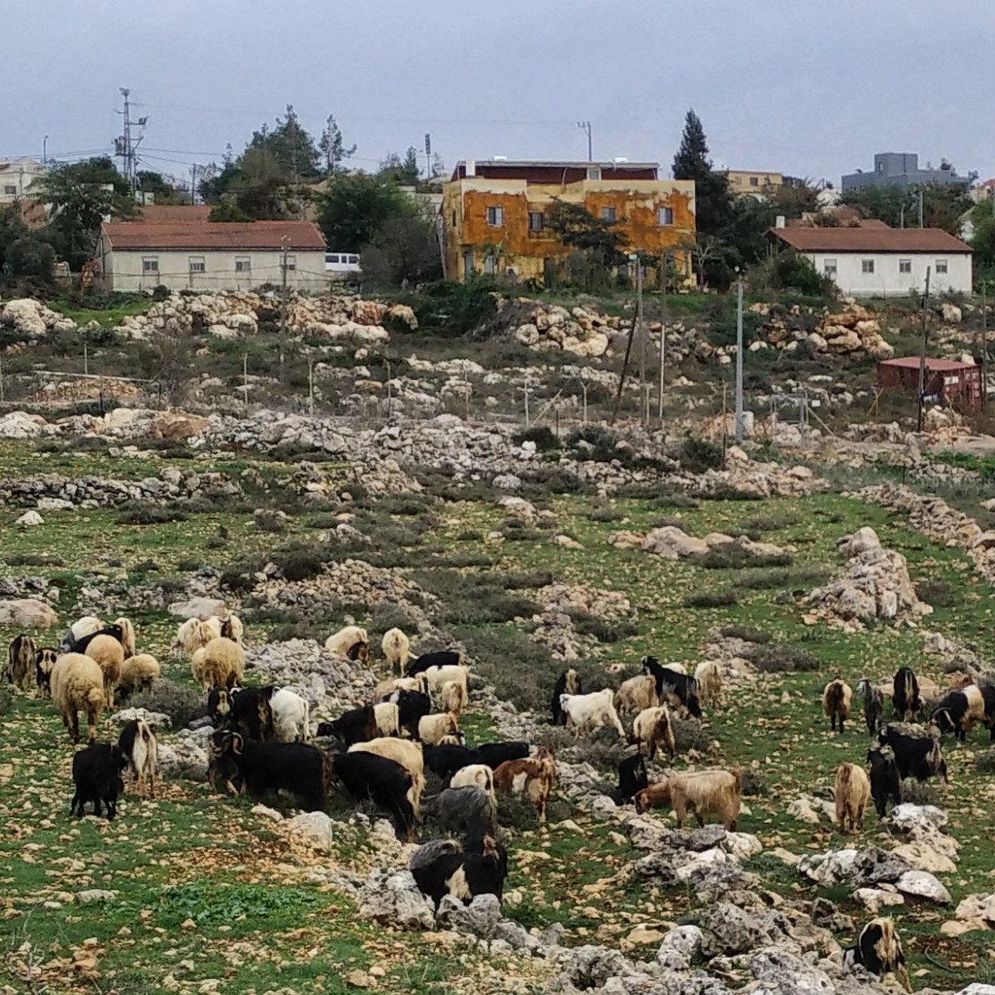 The Jewish Shepherd's flock