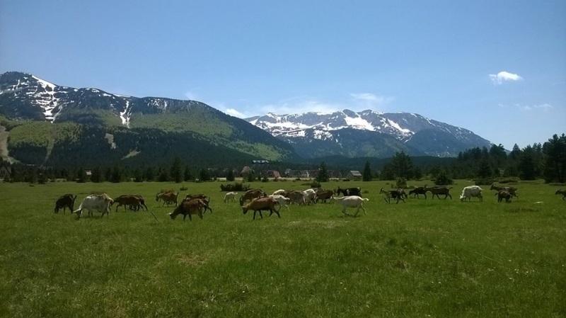 blidinje-cattle-landscape