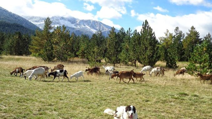 blidinje-dog-cattle