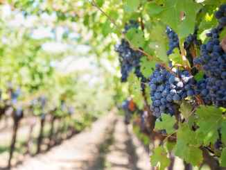 purple-grapes-vineyard-herzegovina