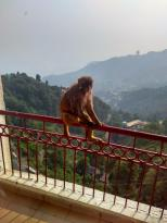 Vasant Palace Hotel Mussoorie Executive Room Monkey Visit