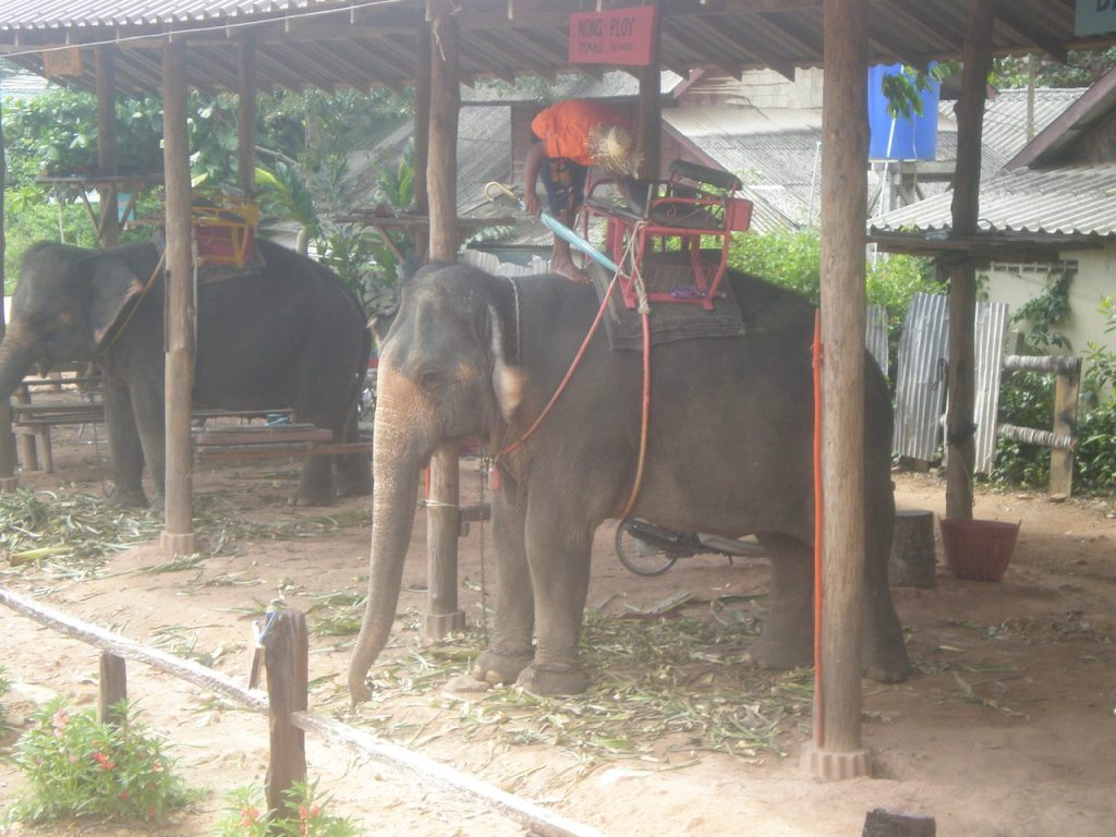 The shocking truth about elephant riding in Thailand