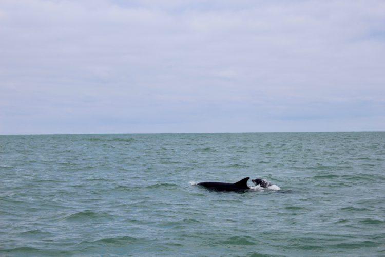 un dauphin qui nage au large de Cancale en Bretagne