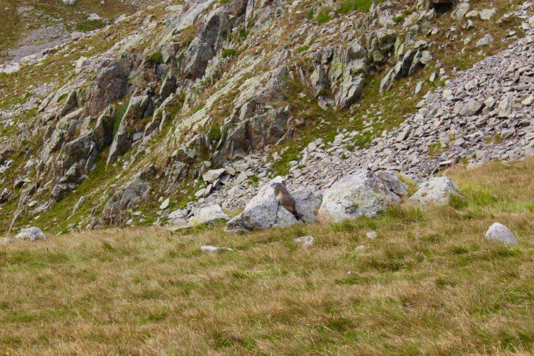 Marmotte au Col de Fenestre Marc du Mercantour