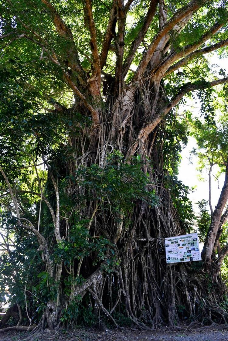Balete Tree Aurora Philippines