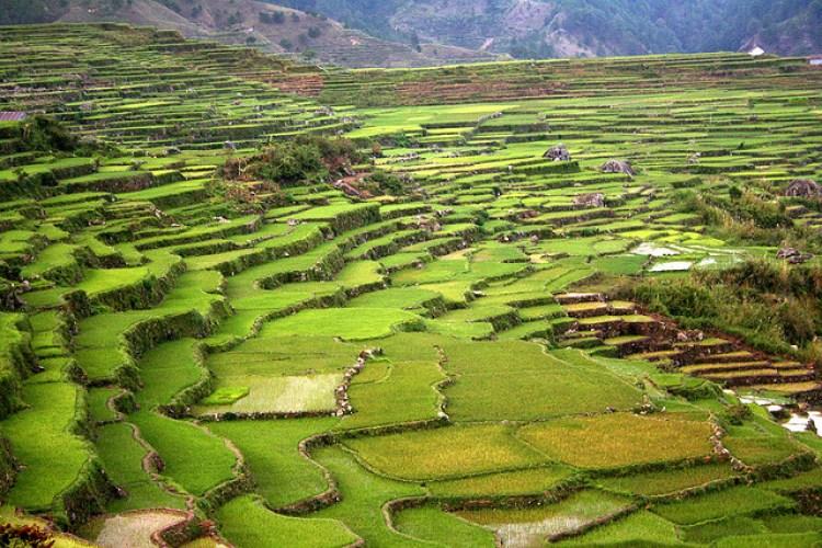 Sagada Rice Terraces