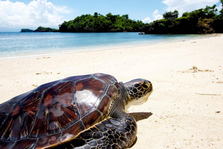 Turtle on Turtle Island Guimaras