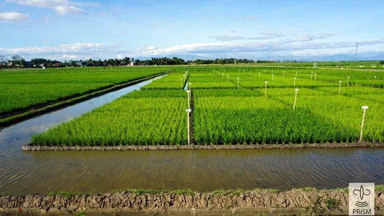 PhilRice Rice Field
