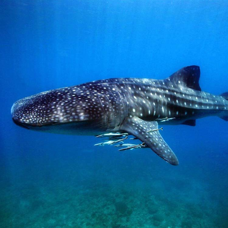 Donsol Whale Shark Interaction Site