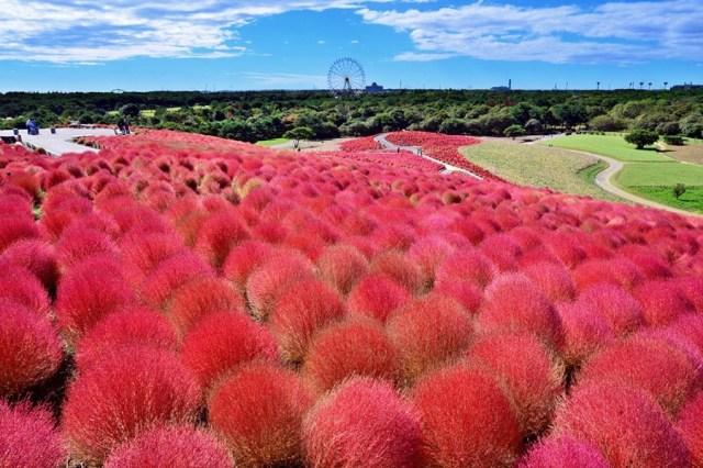 Kochia Flower Hitachi Side Park Jepang