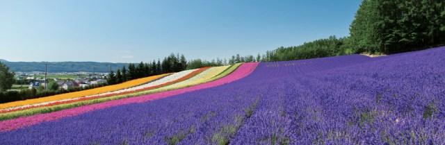 Tomita Bunga Lavender di Furano Hokkaido
