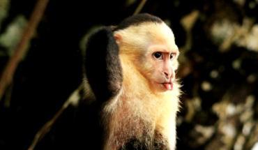 примат гуанакасте