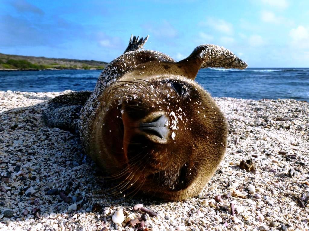 морской котик галапагосского архипелага