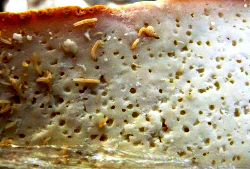 личинки в касу марцу