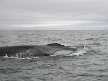 Fin Whale -- a West Cork giant!