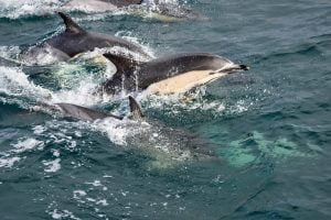 Common dolphins: whale watching and wildlife in West Cork, Ireland