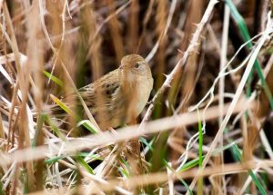 Grasshopper Warbler: guided bird watching and wildlife tours in Ireland