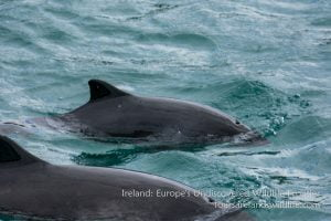 Harbour porpoise mother and calf, Ireland